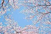 벚꽃, 봄, 로우앵글, 꽃잎