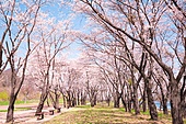 벚꽃, 봄, 공원, 소풍