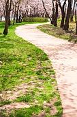 벚꽃, 봄, 공원, 길, 산책길 (보행로)