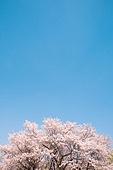 벚꽃, 봄