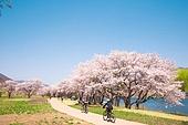 벚꽃, 봄, 공원