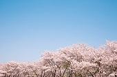 벚꽃, 봄, 공원, 산림