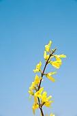 개나리, 꽃, 봄, 꽃잎