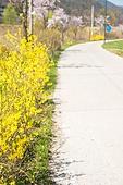 개나리, 꽃, 봄, 길, 산책길 (보행로)