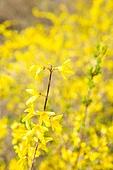 개나리, 꽃, 봄