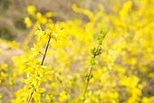 개나리, 꽃, 봄, 잎 (식물부분)