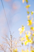 개나리, 꽃, 봄, 전봇대전화선 (케이블)