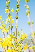 개나리, 꽃, 봄, 잎