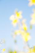 개나리, 꽃, 봄, 보케 (포커스)