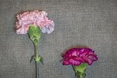 꽃, 5월, 스승의날, 카네이션, 카네이션 (패랭이꽃), 감사