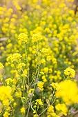 유채꽃 (식물), 봄, 꽃밭