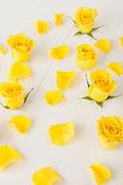 백그라운드, 꽃, 꽃잎, 장미, 노랑색 (색상)
