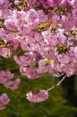 풍경 (컨셉), 봄, 꽃, 겹벚나무 (벚나무), 벚꽃