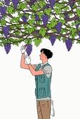 귀농, 청년 (성인), 과수 (낙엽수), 수확, 포도, 포도밭 (들판)