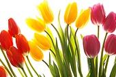Still life of tulips