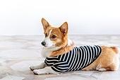 강아지, 웰시코기 (순종개), 라이프스타일, 개, 애견, 애완동물, 애완견, 댕댕이, 애완동물 (길든동물), 실내