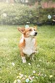 강아지, 애완동물 (길든동물), 웰시코기 (순종개), 라이프스타일