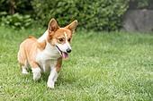 강아지, 라이프스타일, 웰시코기 (순종개), 애완동물 (길든동물), 실외