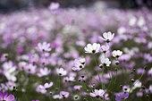 꽃, 가을, 코스모스