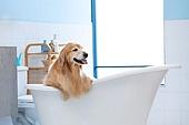 리트리버, 개 (개과), 반려동물 (길든동물), 욕조, 깨끗함 (좋은상태)