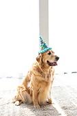 리트리버, 개 (개과), 반려동물 (길든동물), 혀내밀기, 앉아있는동물, 고깔모자 (모자), 파티, 생일