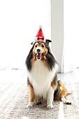 개 (개과), 반려동물 (길든동물), 혀내밀기, 앉아있는동물, 고깔모자 (모자), 파티, 생일, 셔틀랜드쉽독 (콜리)