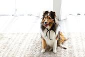 개 (개과), 반려동물 (길든동물), 혀내밀기, 앉아있는동물, 셔틀랜드쉽독 (콜리), 의사, 안경, 청진기, 의인화
