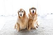 개 (개과), 반려동물 (길든동물), 혀내밀기, 앉아있는동물, 안경, 의인화