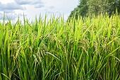 농업 (주제), 시골풍경 (교외전경), 벼, 벼과식물, 쌀