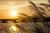 사진, 풍경 (컨셉), 가을, 자연 (주제), 팜파스 (Ornamental Grass), 하늘, 갈대
