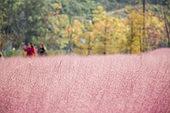 풍경 (컨셉), 자연 (주제), 핑크뮬리 (Ornamental Grass), 분홍 (색상)