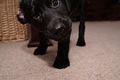 A labrador puppy