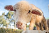 An up close portrait of a cute little lamb with big eyes.