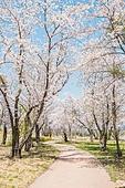 벚꽃, 봄, 풍경 (컨셉), 공원, 길, 산책길 (보행로)