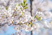 봄, 꽃, 벚꽃, 꽃송이, 벚나무, 벚나무 (과수), 벚꽃축제