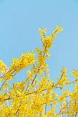 봄, 봄 (계절), 꽃, 개화 (식물의성장단계), 개나리, 개나리 (온대성꽃)