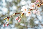 봄, 꽃, 벚꽃, 꽃송이, 개화 (식물의성장단계), 벚나무, 벚나무 (과수), 벚꽃축제