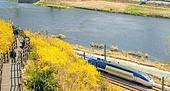 봄, 봄 (계절), 꽃, 개나리, 개나리 (온대성꽃), 기차, 기차 (육상교통수단)