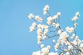 목련, 목련 (온대성꽃), 꽃