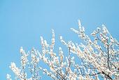 매화꽃 (화목류), 봄, 매화꽃, 꽃