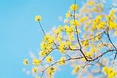 산수유 (베리), 산수유나무 (낙엽수), 산수유나무, 꽃, 봄, 봄 (계절)