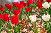 튤립, 꽃, 정원
