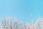 살구꽃, 살구나무, 꽃, 봄, 봄 (계절)