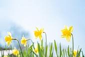 수선화, 봄, 꽃, 정원, 원예 (레크리에이션)