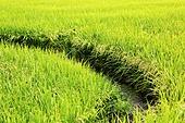 벼, 농작물, 수확 (움직이는활동)