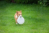 개 (개과), 반려동물, 웰시코기 (순종개)