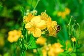 꽃, Flower, 달맞이꽃, 벌 (곤충), 꿀벌