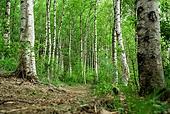 숲, 숲속, 자연 (주제), 자연풍경 (교외전경), 환경, 풍경 (컨셉), 자작나무, 자작나무 (낙엽수), 나무
