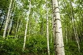 나무, 산림, 숲, 자작나무
