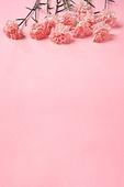 꽃, 분홍, 카네이션, 백그라운드